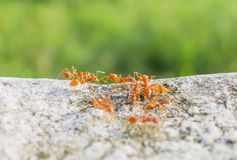 Ant Forage for food Royalty Free Stock Images