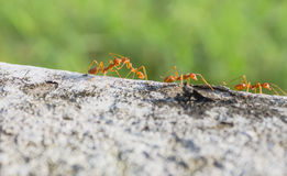 Ant Forage for food Stock Images