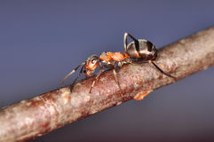 Ant - formica Royalty Free Stock Photos