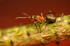Ant - formica Stock Image