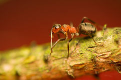 Ant - formica Stock Photography
