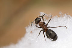 Ant - Formica rufa stock photography