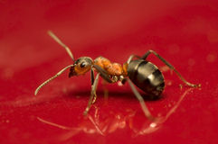 Ant - Formica rufa Royalty Free Stock Image
