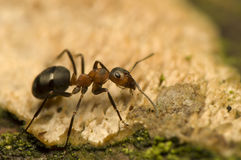 Ant - Formica rufa Royalty Free Stock Photos