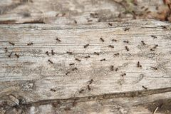 Free Ant Formica Rufa, Also Known As The Red Wood Ant, Southern Wood Ant Or Horse Ant, Is A Boreal Member, The Photo Ants On A Log Of Stock Photo - 94064070