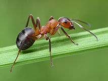 Ant formica rufa on grass Royalty Free Stock Photo