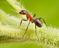 Ant formica rufa on grass Royalty Free Stock Photography