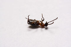 Ant Formica rufa  photo ants on a White background Stock Photo