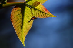 Ant and fresh leaves Stock Photography