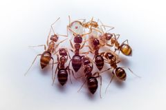 Ant Gathering. Ants Gathering Group in Macro Royalty Free Stock Photos
