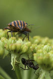 Ant and Graphosoma. In the flover on the garden Royalty Free Stock Image