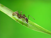 Ant  on grass Royalty Free Stock Photo