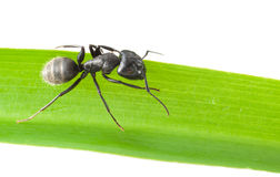 Ant on grass blade Stock Images