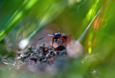 Ant in grass Stock Photo