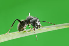 Ant on grass Royalty Free Stock Photos