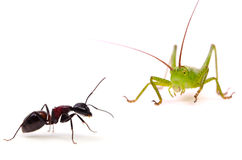 The Ant and the Grasshopper. Animal series    The Ant and the Grasshopper. available for clipping work Stock Photo