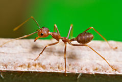 Ant on the green. A red ant walking on wood against a green background Royalty Free Stock Photography