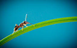 Ant and green grass Royalty Free Stock Photography