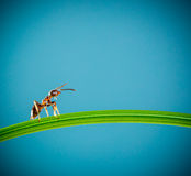 Ant and green grass. Ant running around the curved green blade of grass on a blue background Royalty Free Stock Photo