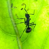 Ant on green leaf Stock Images