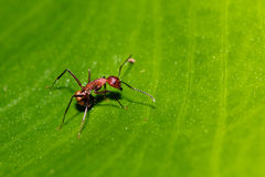 Ant on green leaf Royalty Free Stock Photo