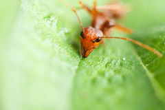 Ant on green leaf Stock Image