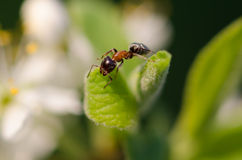 Ant on a green leaf Stock Photo