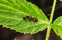 Ant on green leaf macro Royalty Free Stock Photos