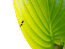 Ant on a green leaf Stock Photos