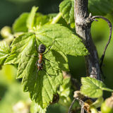 Ant on green sheet of the currant. In year season in garden Royalty Free Stock Photography
