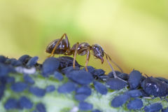 Ant with greenflies Royalty Free Stock Photos