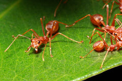 Ant group Royalty Free Stock Photography