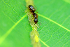 Ant harvesting leaf hoppers nectar Stock Images