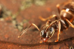 Ant having a Drink Macro Stock Images
