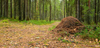 Ant hill. Ant hill in coniferous forest on the crossroad of paths Stock Photo