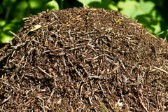 Ant hill Royalty Free Stock Image