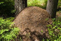 Ant hill in coniferous wood Royalty Free Stock Photo