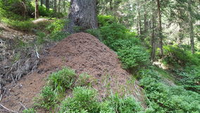 Ant hill. In forest with bilberry Royalty Free Stock Photos