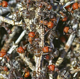 Ant hill macro red white ants sticks Stock Image