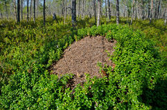 Ant hill in northern wood Stock Photos
