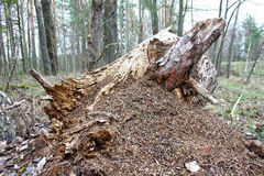 Ant hill on an old stump. In coastal thickets of deciduous trees Stock Photo