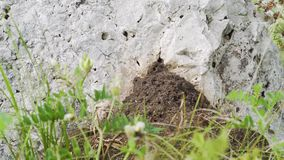 Ant hill in the rock. Ants have created an ant hill in the rock stock video