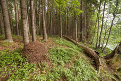 Ant hill in summer wood. Stock Photography