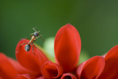 Ant I. Ant climbing a red flower in a green background stock photography