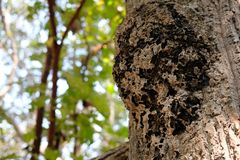 Ant insect nest on tree in forest. Ant insect animal nest on tree in forest stock images
