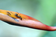Ant insect of the order Hymenoptera Royalty Free Stock Photo