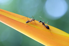 Ant, insect of the order Hymenoptera Royalty Free Stock Photos