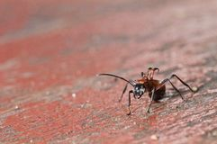Ant, Insect on the wood table. Close up picture of Ant, Insect on the wood table stock photos