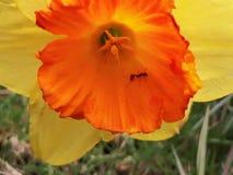 Ant Inside une jonquille jaune et orange Image libre de droits