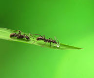 Ant isolated on grass Stock Image
